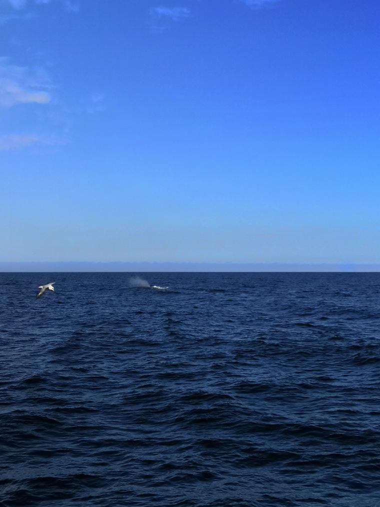 Kaskelotti, meren jättiläinen