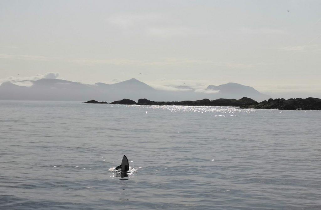 Miekkavalas, sulavaliikkeinen delfiini